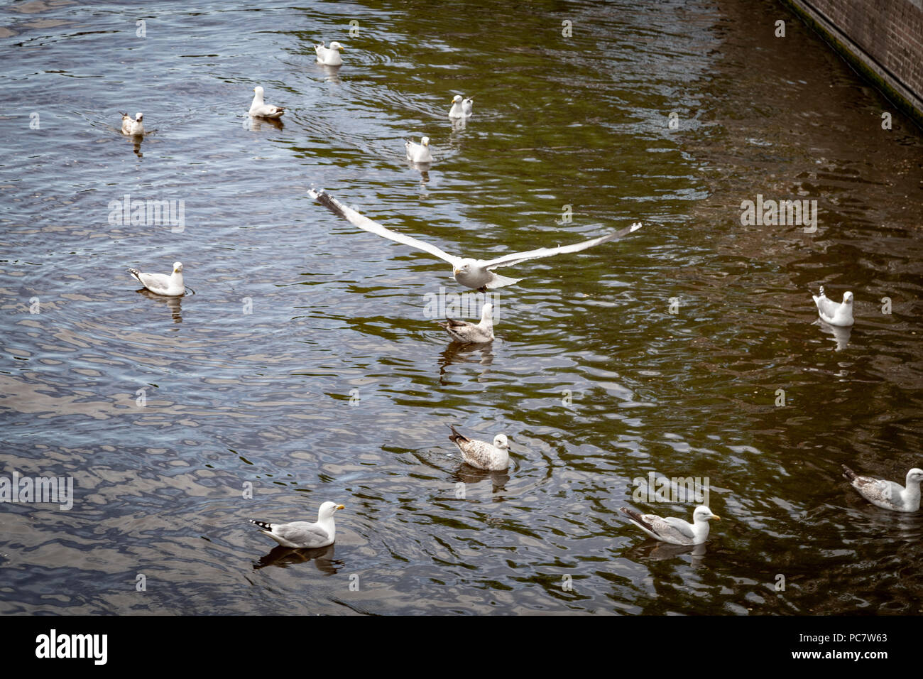 Birds in canals of Amsterdam, Netherlands - Stock Image