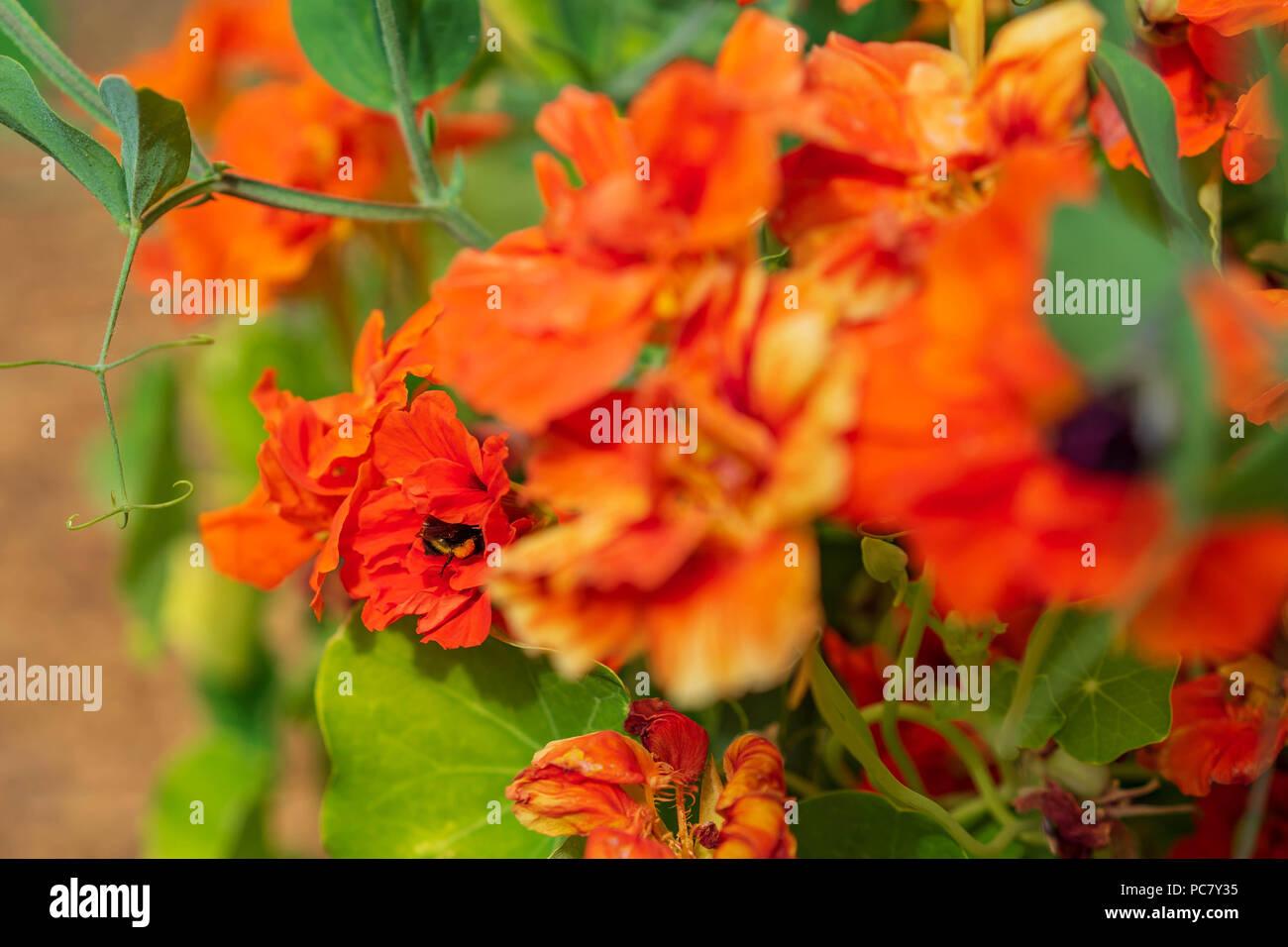 Beutiful pollinator garden, Portland, Oregon, July 2018 - Stock Image