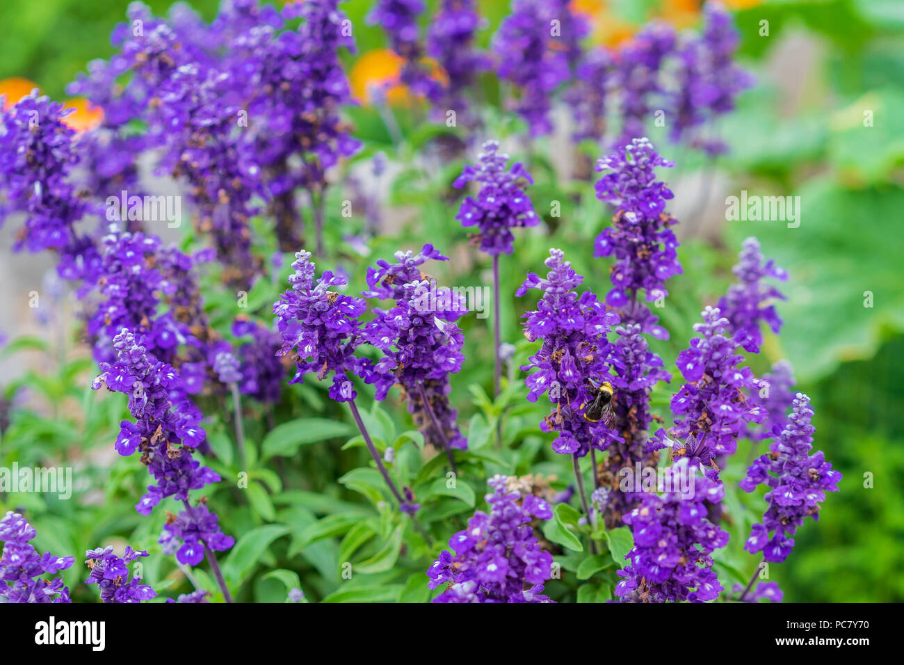 Beautiful pollinator gardens, Portland, Oregon, July 2018 - Stock Image