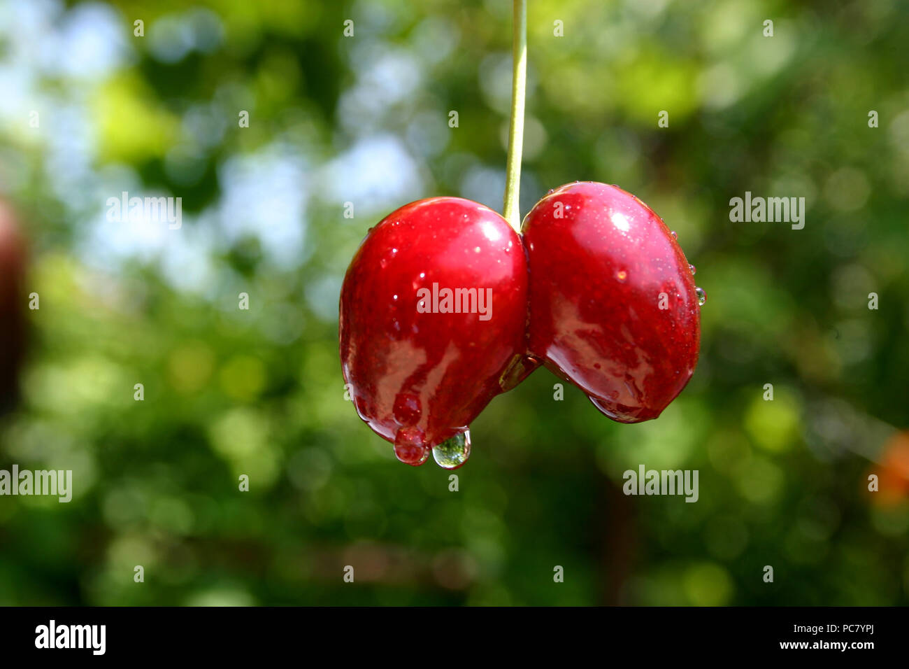 Double cherry - Stock Image