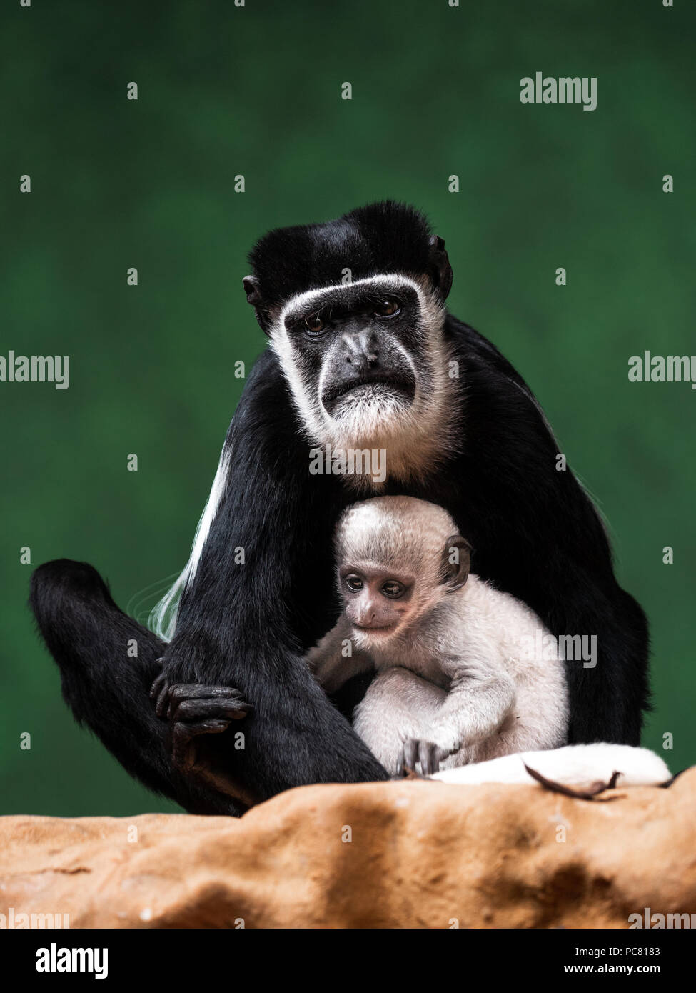 Black-and-white colobuses (or colobi) are Old World monkeys of the genus Colobus, native to Africa. - Stock Image