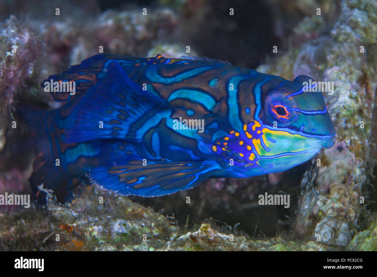 Close up image of a Mandarinfish (Synchiropus Splendidus), in coral rubble. Lembeh Straits, Indonesia. Stock Photo