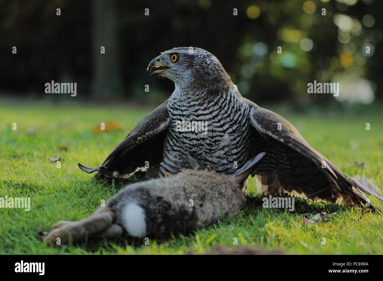 prey,goshawk,falconry - Stock Image