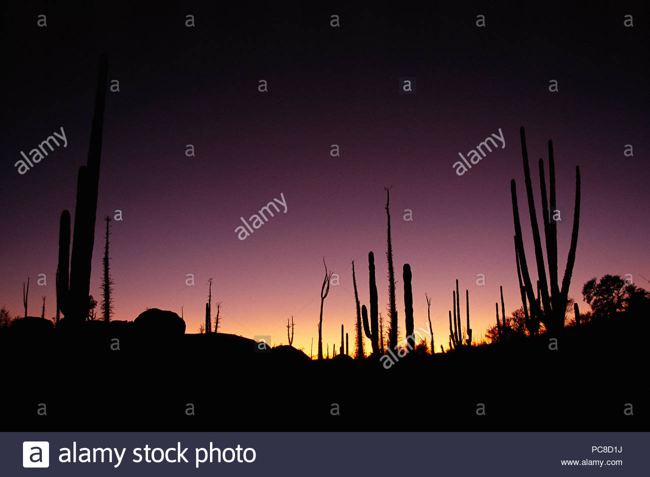 Cacti silhouetted against twilight sky. - Stock Image