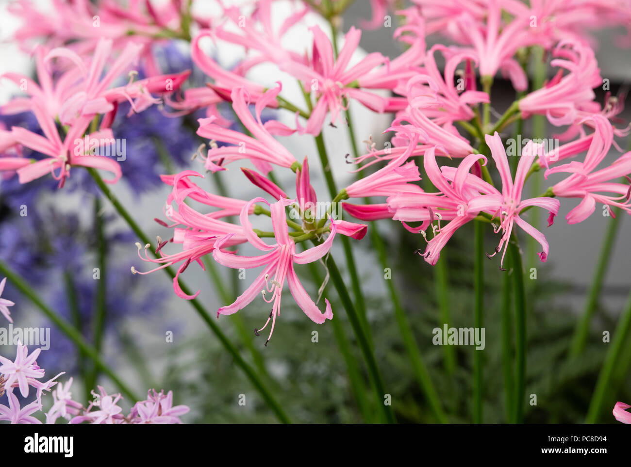 Nerine bowdenii. Bowden lily flowers in a display at RHS Tatton Park flower show 2018. Cheshire, UK - Stock Image