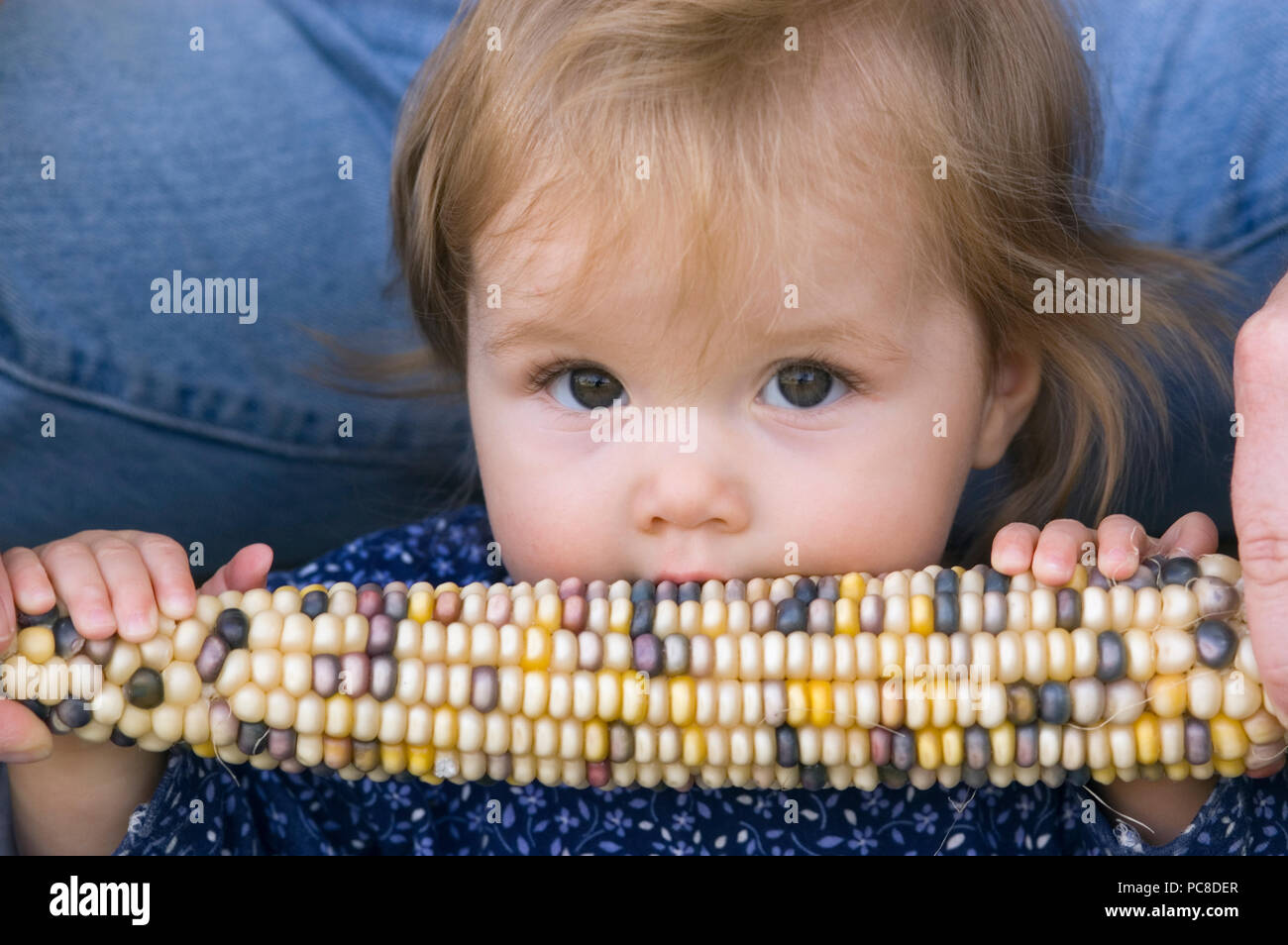 An eight month old girl chews on an ear of corn. - Stock Image
