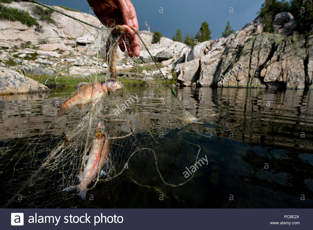 A biologist uses a net to catch trout at Kings Canyon National Park. - Stock Image