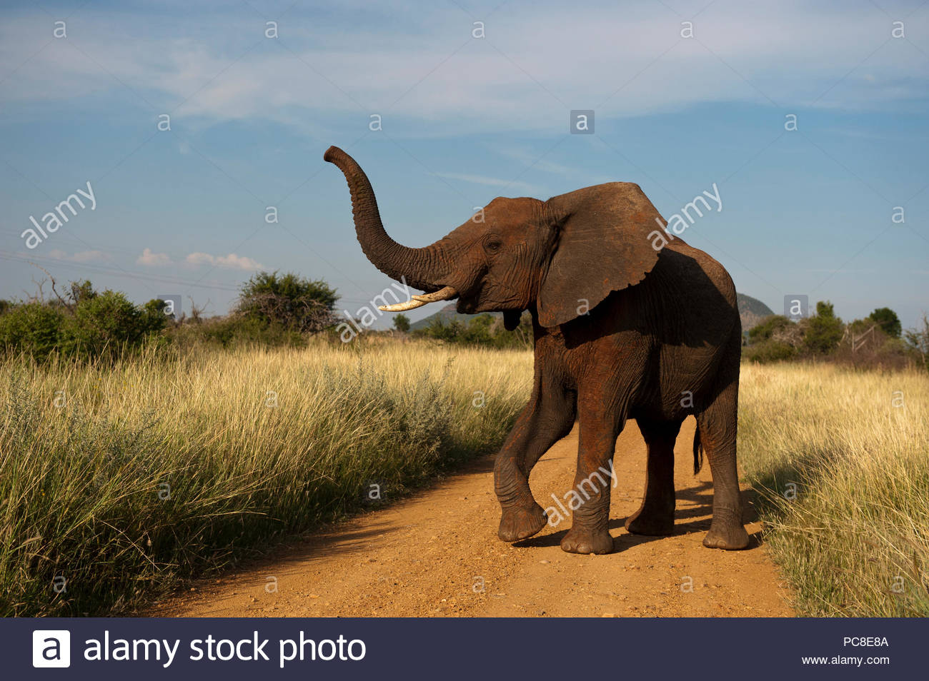 An African elephant in the Madikwe Game Preserve, South Africa. - Stock Image