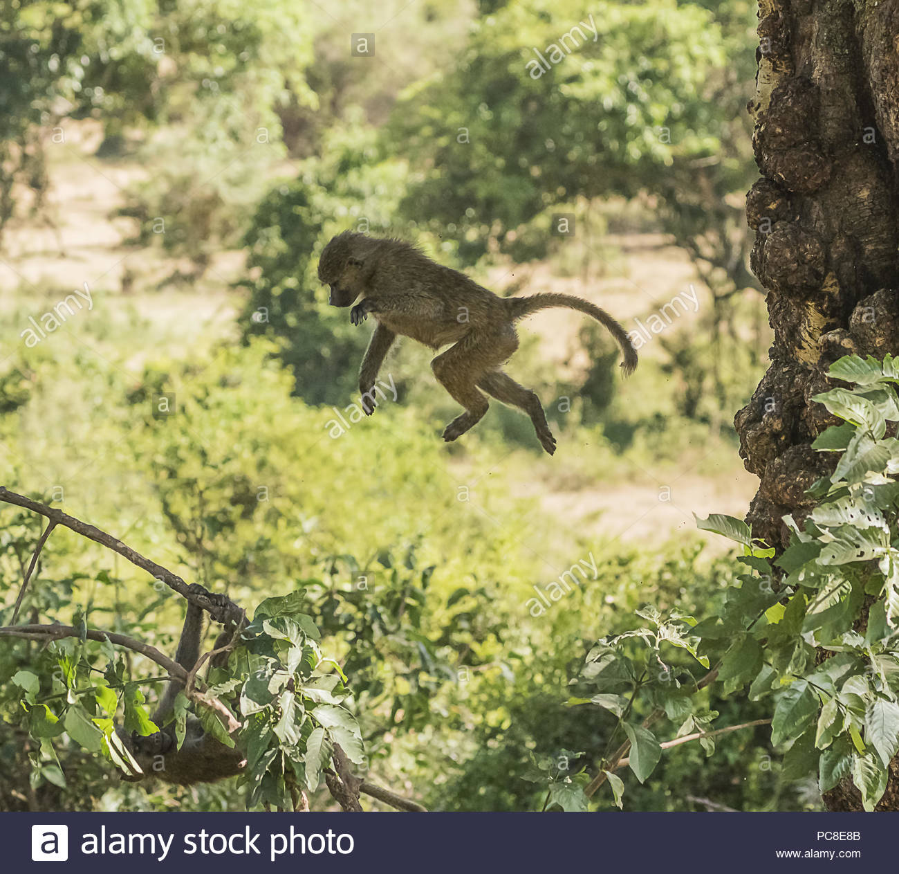 A young baboon in mid-flight as it jumps from a tree trunk to join its siblings below. - Stock Image