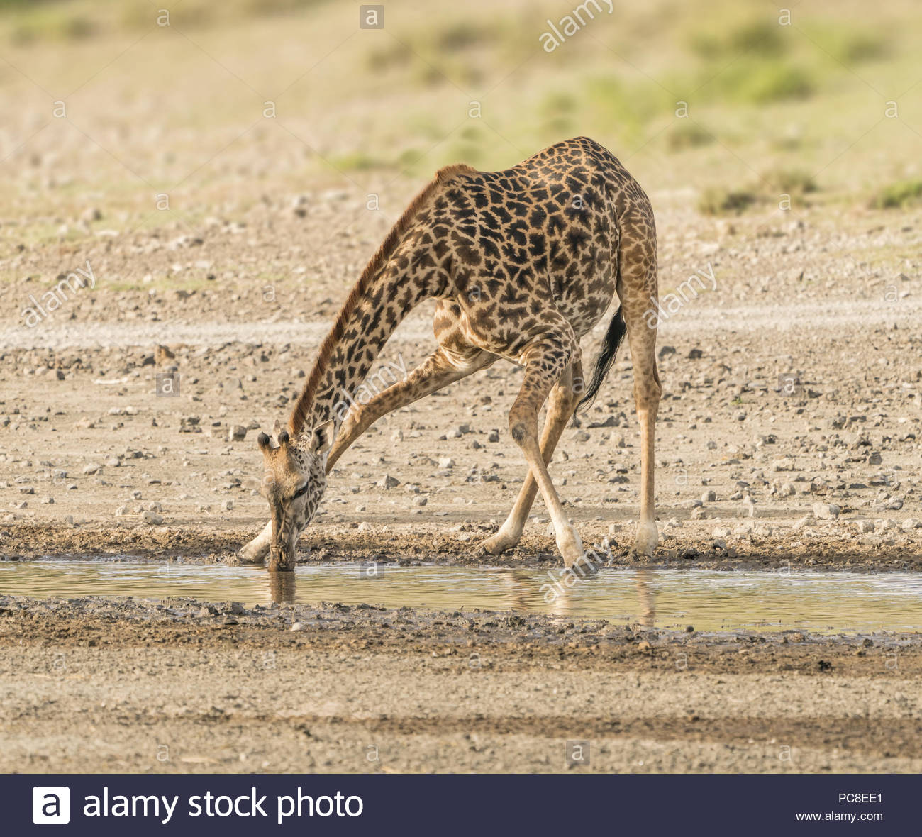 A giraffe calf crouches for a drink. - Stock Image