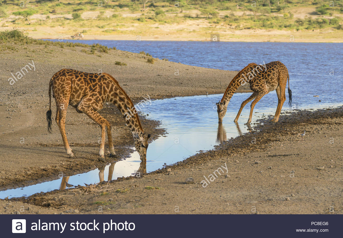Two Masai Giraffes, an adult and a calf, crouch to drink from a pond. - Stock Image