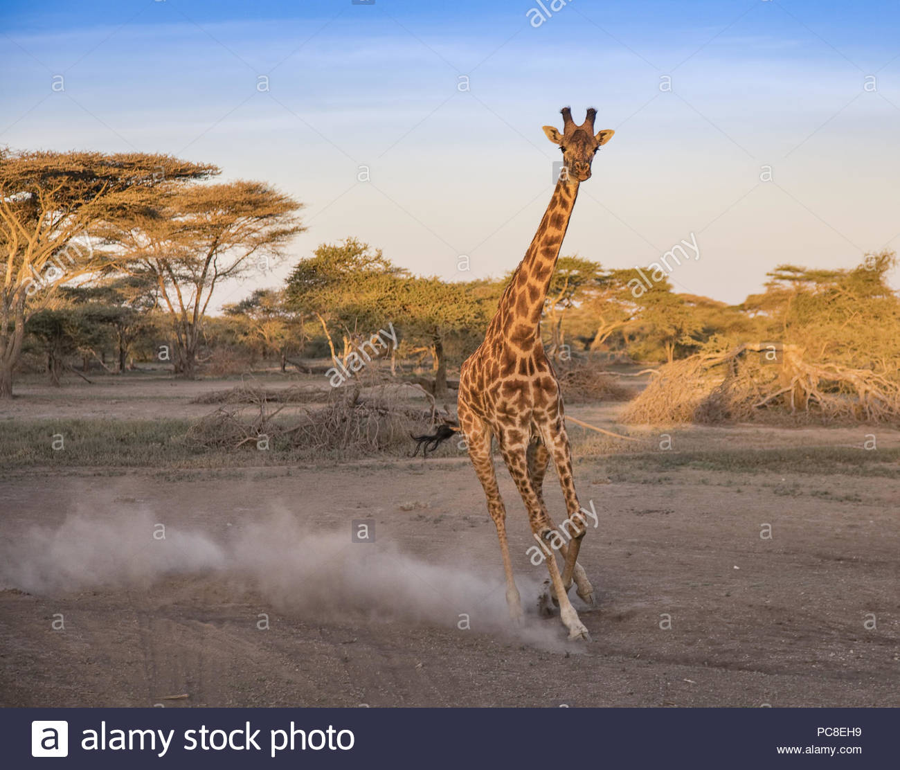 A giraffe frightened by a threat gallops in the Ngorongoro Conservation Area. - Stock Image
