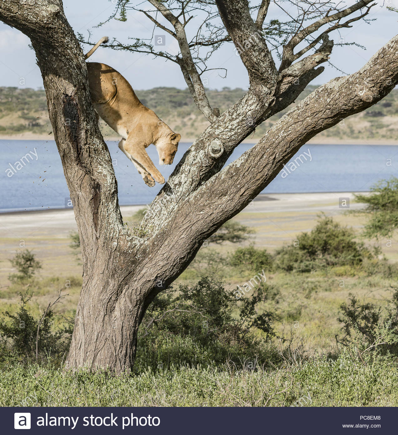 A lioness leaps down from the limb of an Acacia tree. - Stock Image
