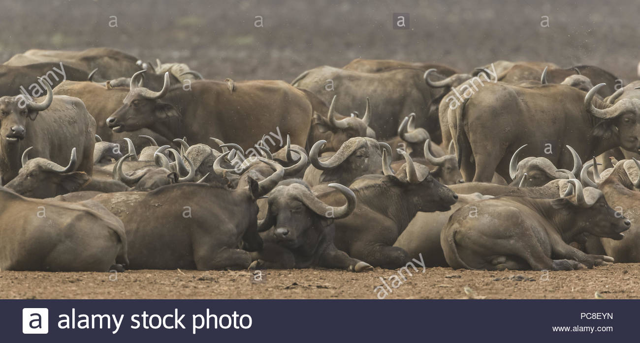 A herd of cape buffalo rest and relax along the shore of Lake Manyara. - Stock Image