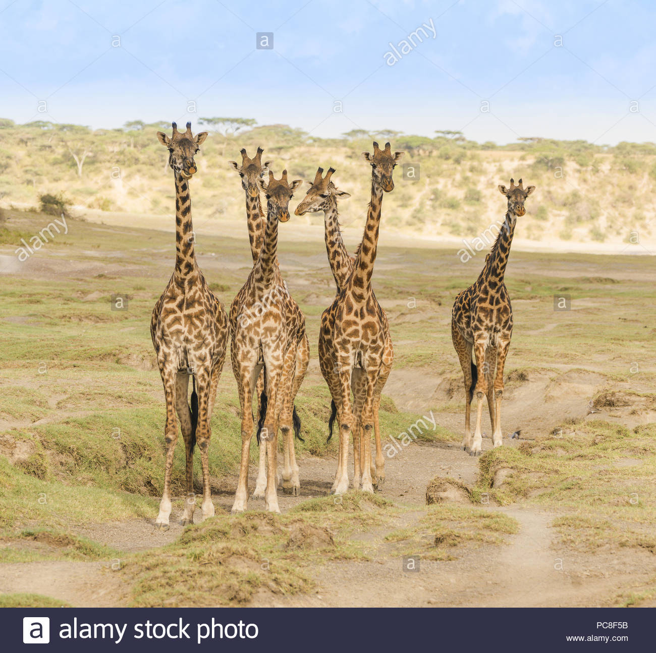 A small herd of six giraffes stop and watch for any threats as they approach their watering hole. - Stock Image