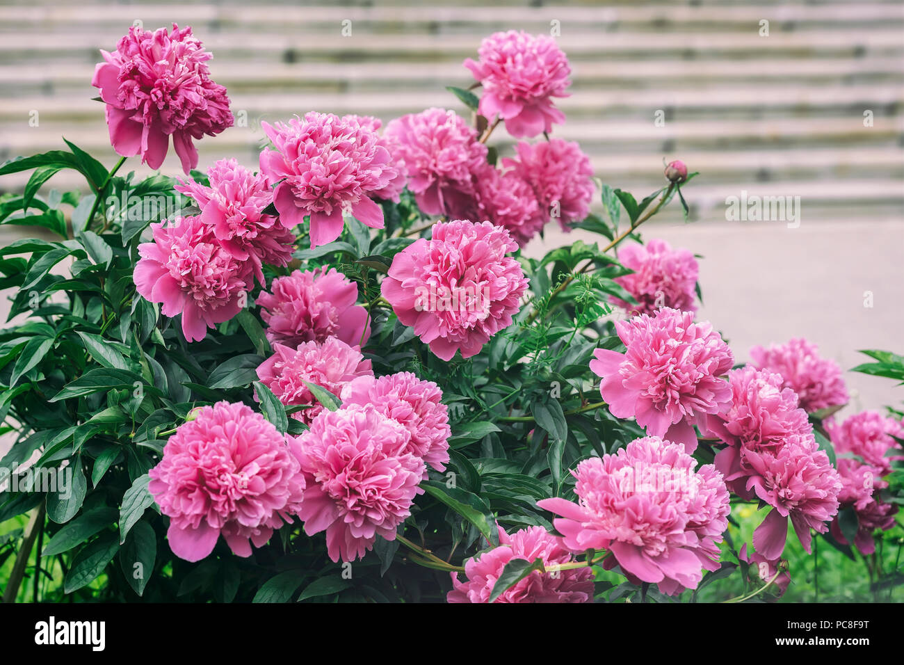 Abundant lush flowering pink purple peonies in garden traditional abundant lush flowering pink purple peonies in garden traditional floral symbol flower of riches and honour and king of the flowers mightylinksfo