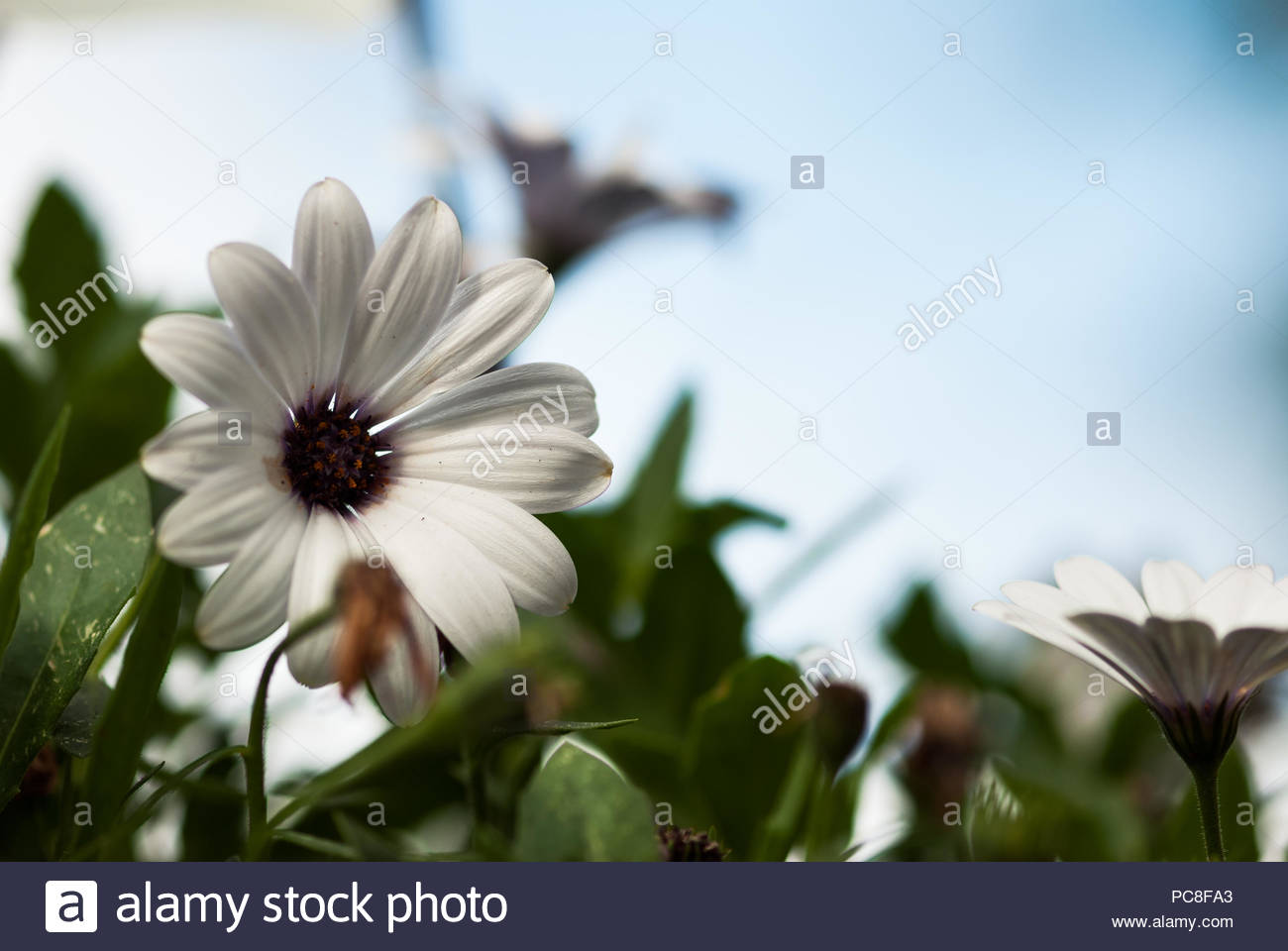 White flower with purple center stock photos white flower with a white african daisy flower with a purple center rests among green leaves with mightylinksfo