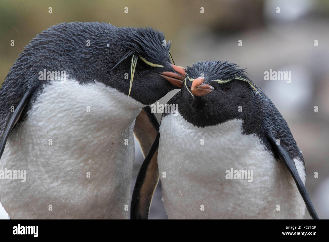 Pair of rock hopper penguins nesting at a rookery in the West Falkland Islands - Stock Image