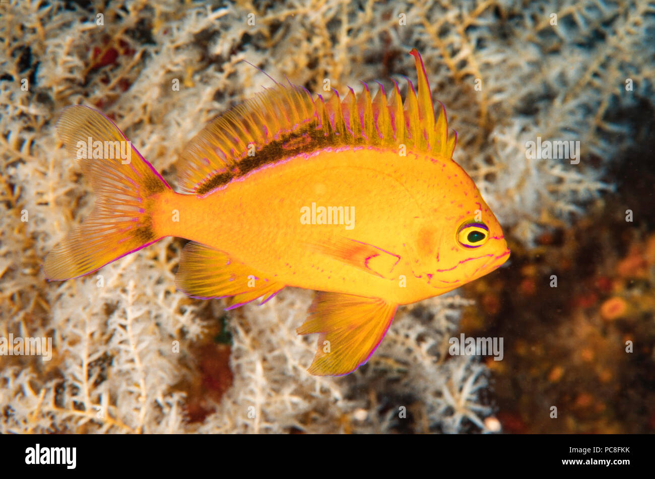 This Hawaiian yellow anthias (endemic) Odontanthias fuscipinnis, was first identified with submersibles.  To this date only a handful of photographers - Stock Image