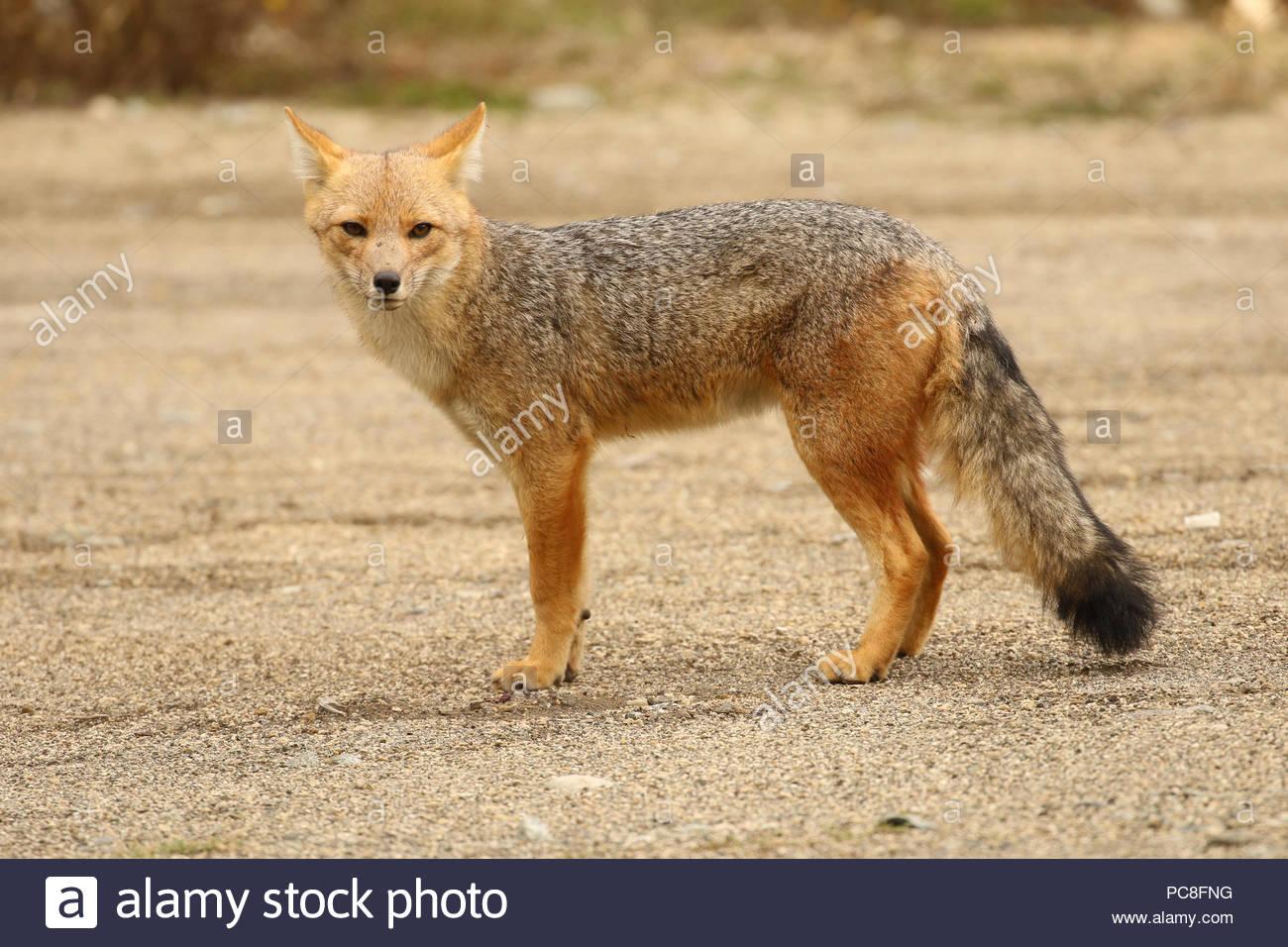 A culpeo or Andean fox, Lycalopex culpaeus, staring alertly - Stock Image