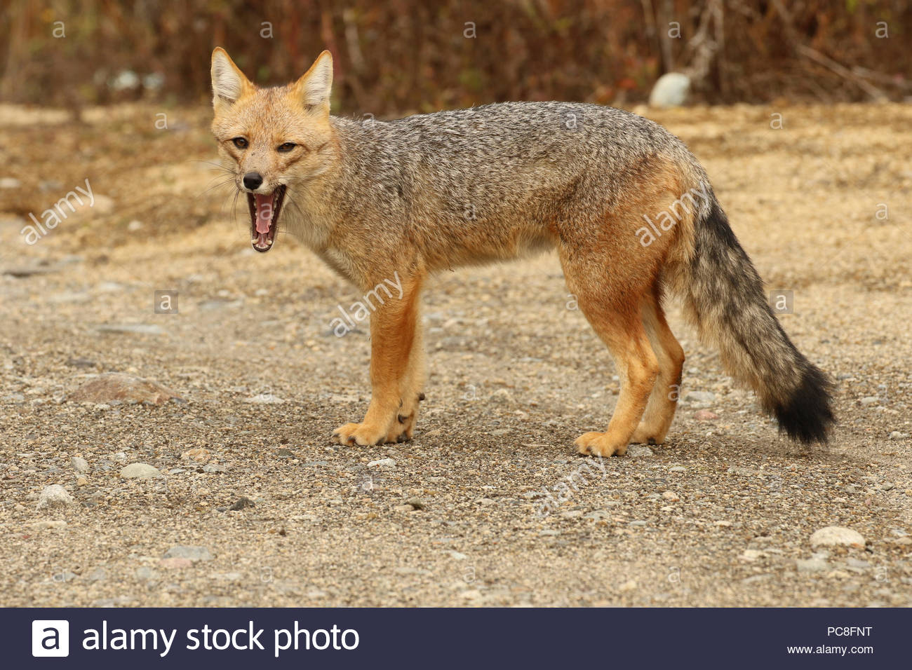 A culpeo or Andean fox, Lycalopex culpaeus, yawning - Stock Image