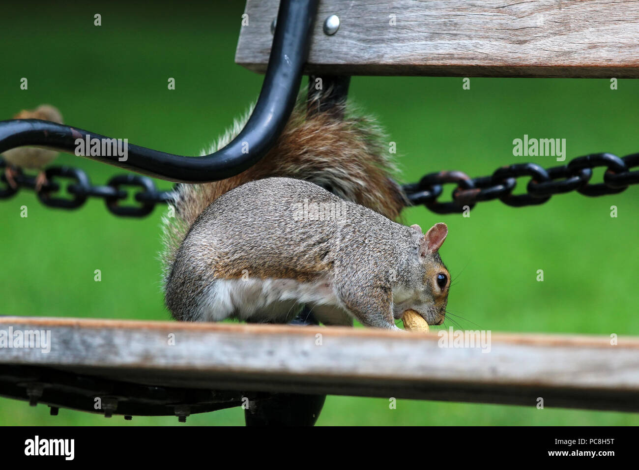 NEW YORK, NY - JULY 10: Squirrel holds a peanut on a bench in Washington Square Park in Manhattan on JULY 10th, 2017 in New York, USA. Stock Photo