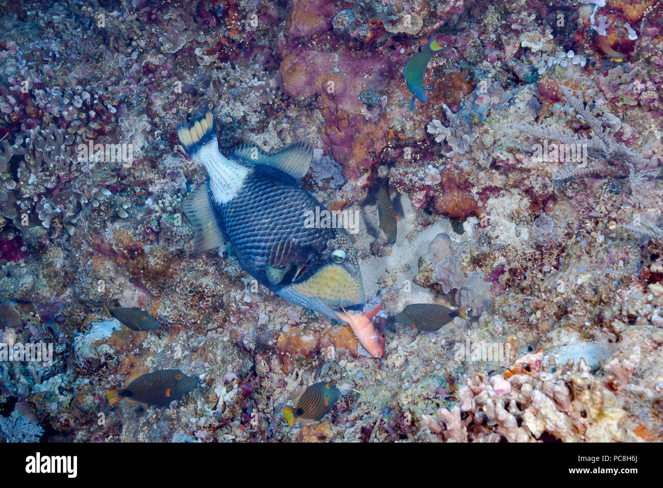 This titan triggerfish or giant triggerfish, Balistoides viridescens, is eating a parrotfish while five orange-lined triggerfish, Balistapus undulatus - Stock Image