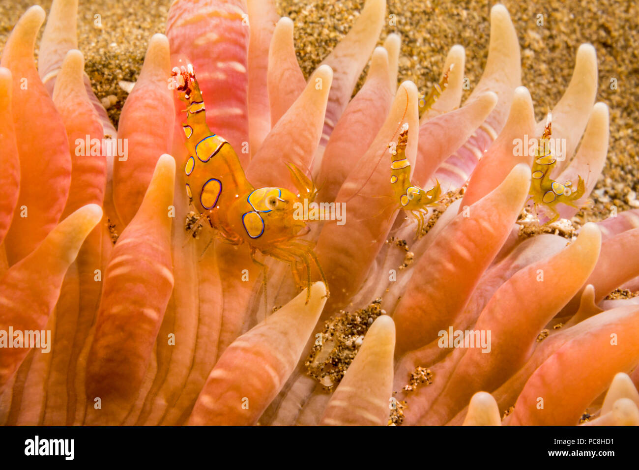 Four tiny squat shrimp, Thor amboinensis, on a sand anemone. The sand anemone, Heteractis malu, is the largest in Hawaii. When disturbed it will disap - Stock Image