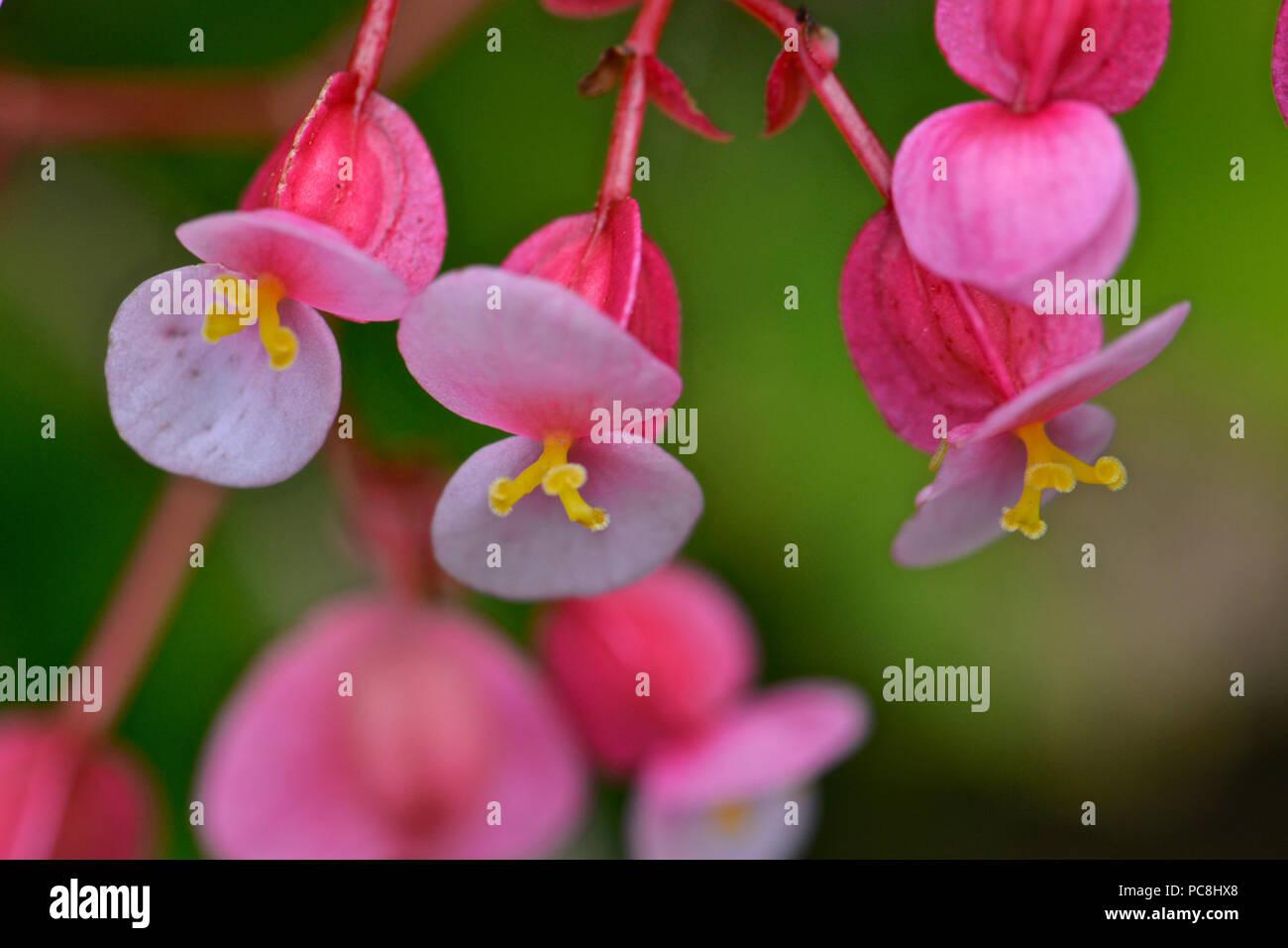 Wax begonia, Begonia semperflorens. Stock Photo