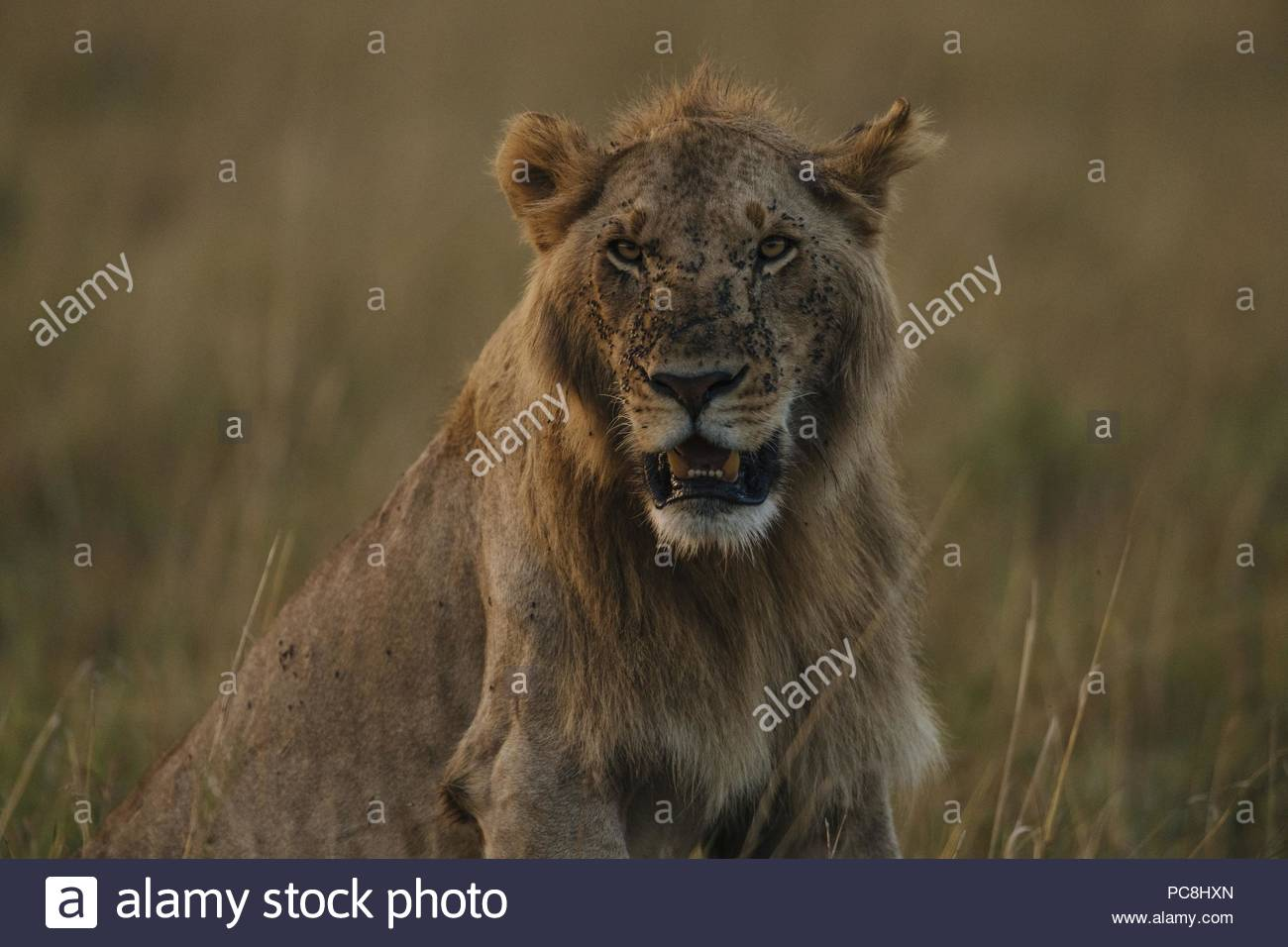 Portrait of a male lion, Panthera leo, resting in the dry grass. - Stock Image