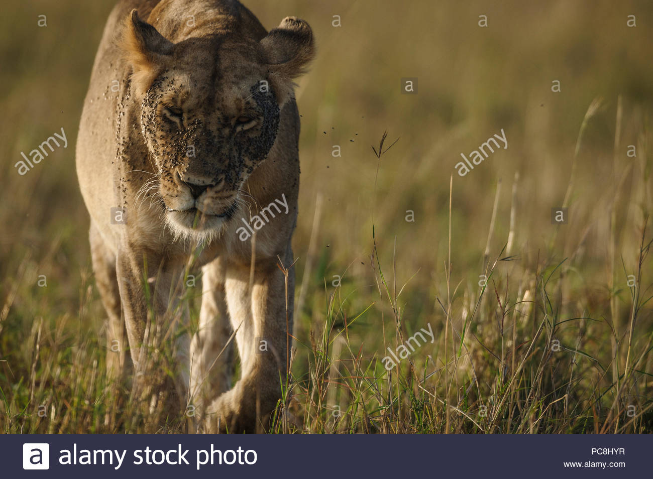 A lioness, Panthera leo, walks in dry grass with flies covering her face. - Stock Image