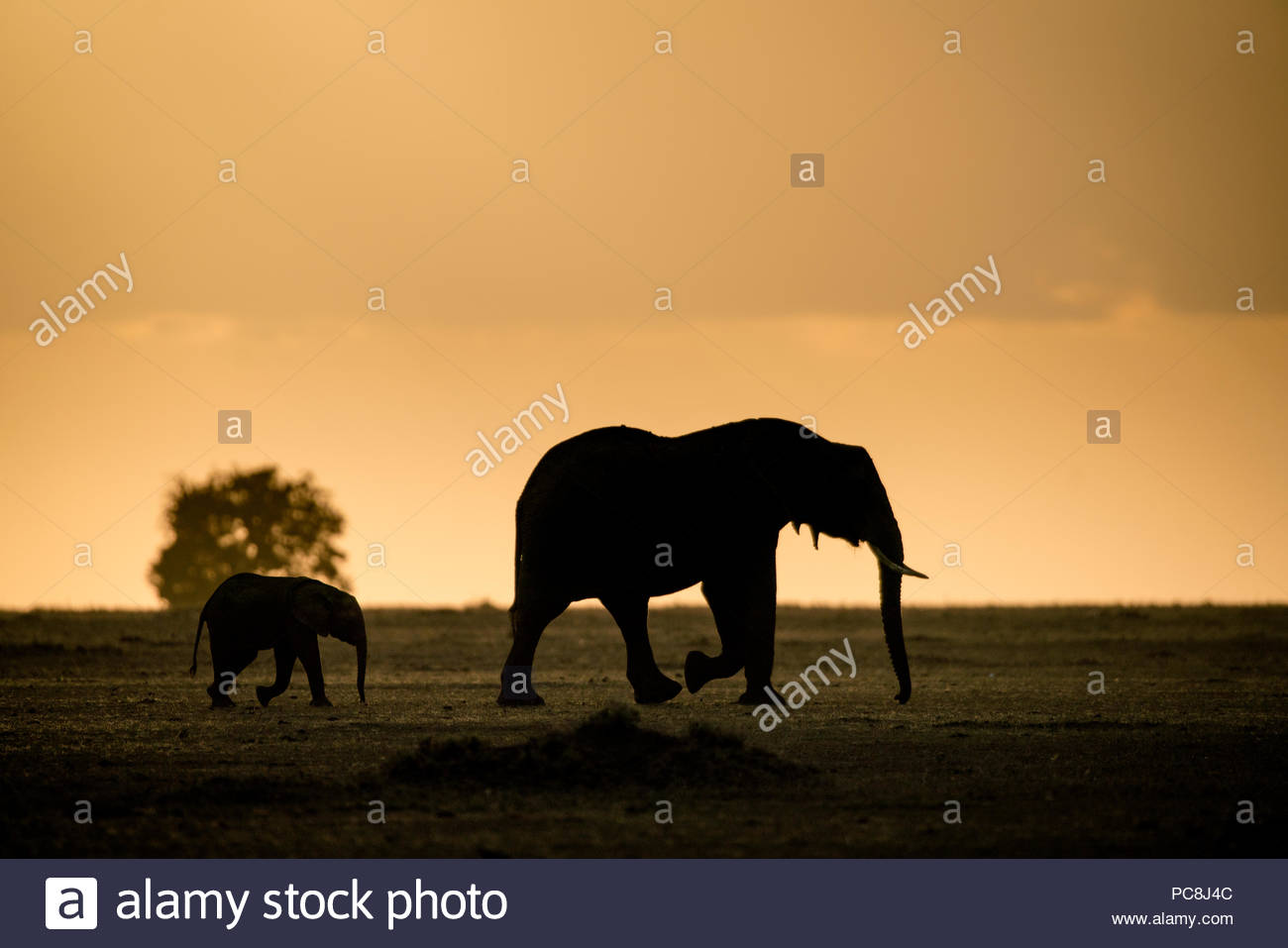 African elephant and her calf, Loxodonta africana, on horizon at sunset. - Stock Image