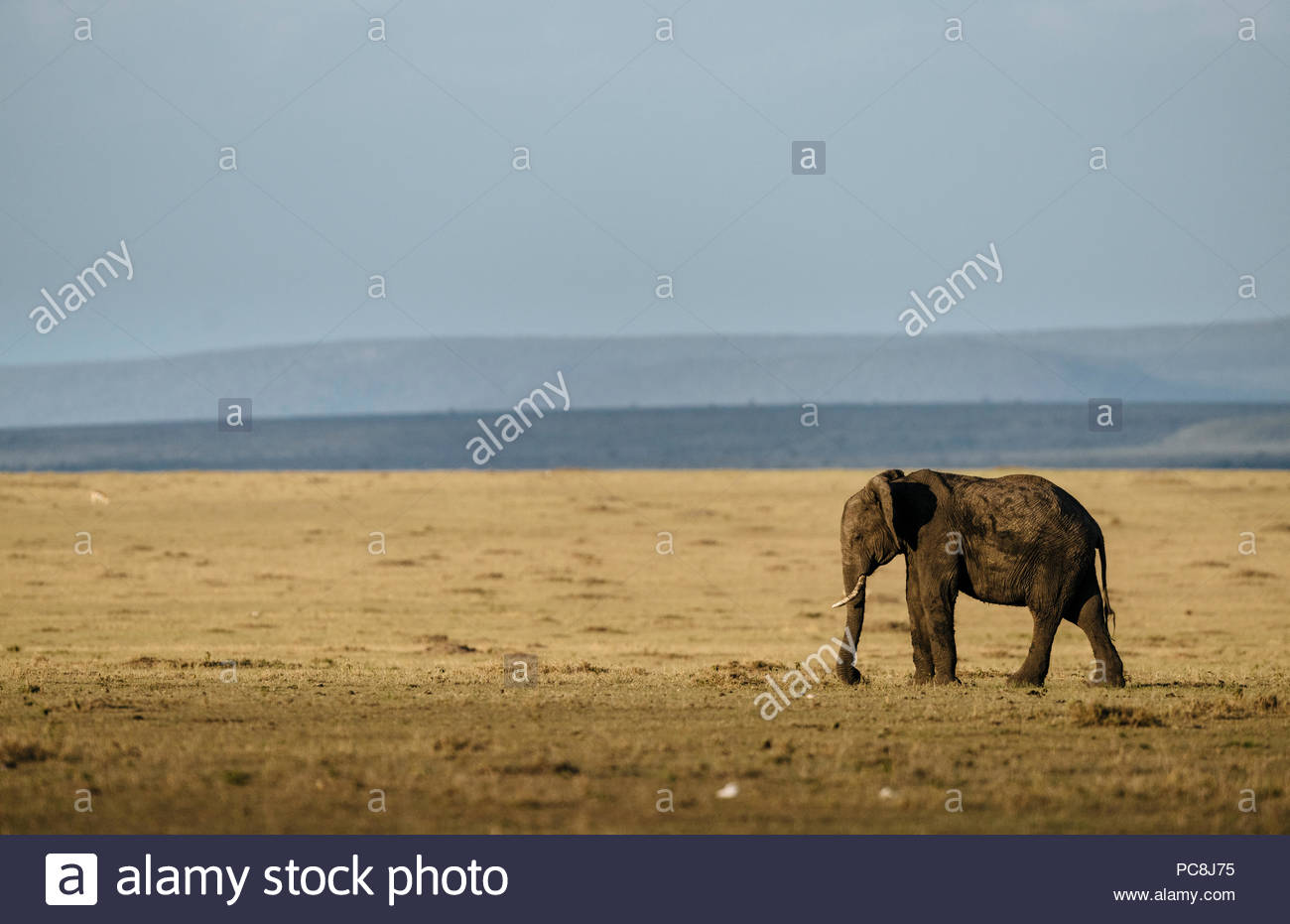 African elephant, Loxodonta africana, standing on savanna. - Stock Image