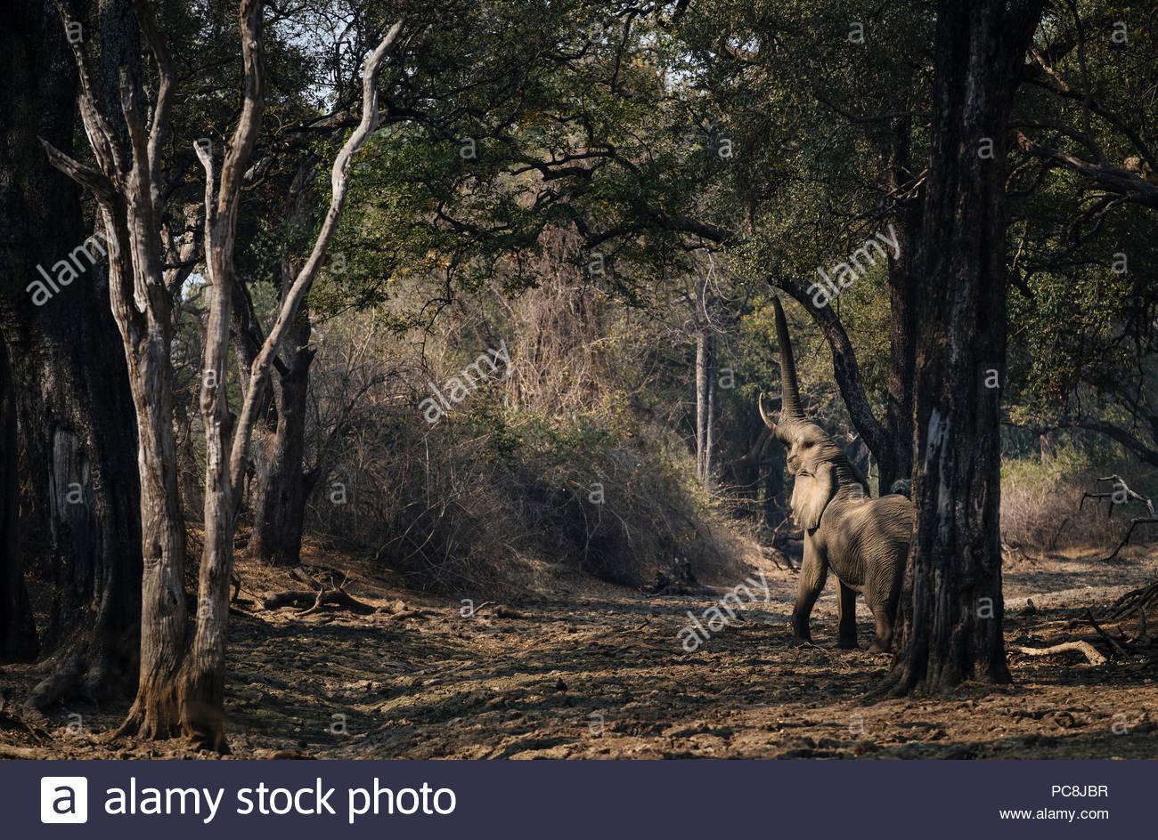 African elephant, Loxodonta africana, feeding on foliage. - Stock Image