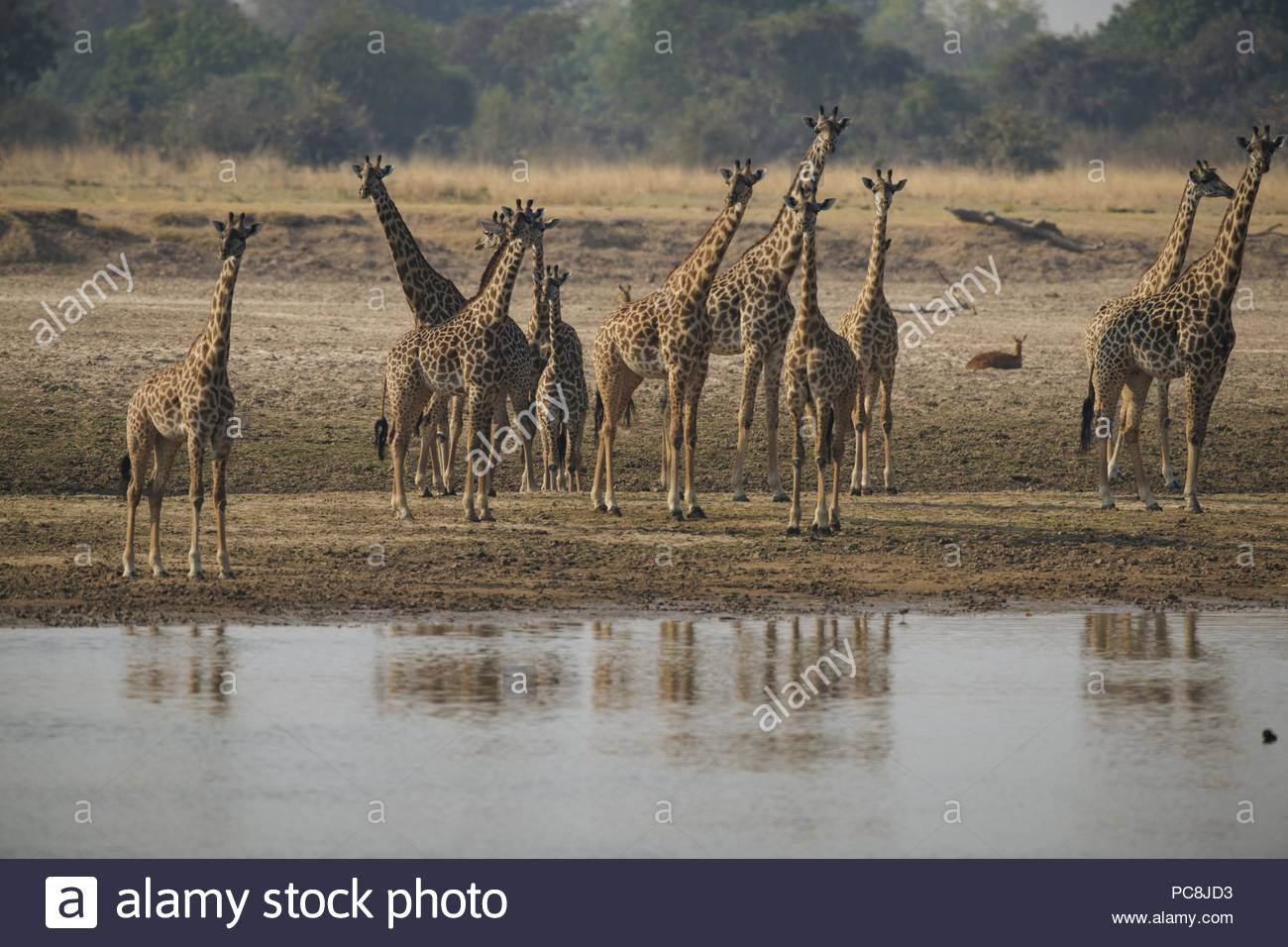 Thornicrofts Giraffes, giraffa camelopardalis thornicrofti, checking the area. - Stock Image
