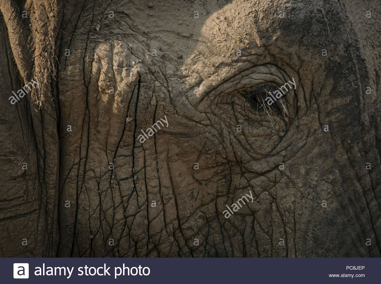 Close-up of an African elephant, Loxodonta africana, covered by mud. - Stock Image