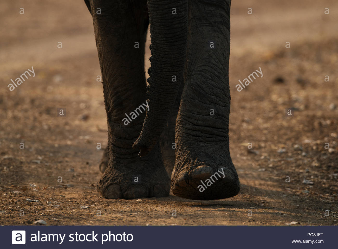 Close-up of an African elephant feet, Loxodonta africana, walking. - Stock Image