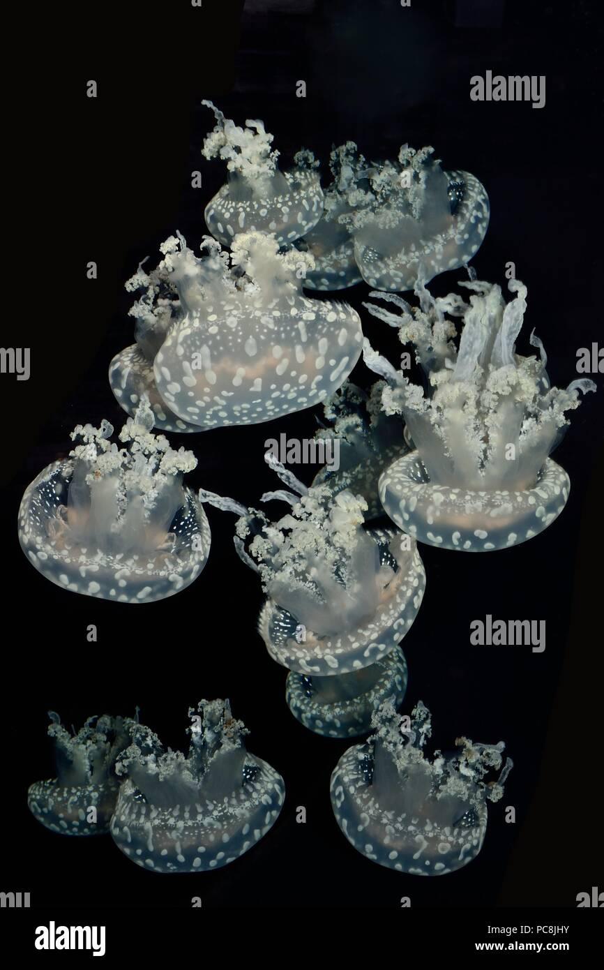 spotted jellyfish, Weißgefleckte Wurzelmundqualle, Mastigias sp. - Stock Image