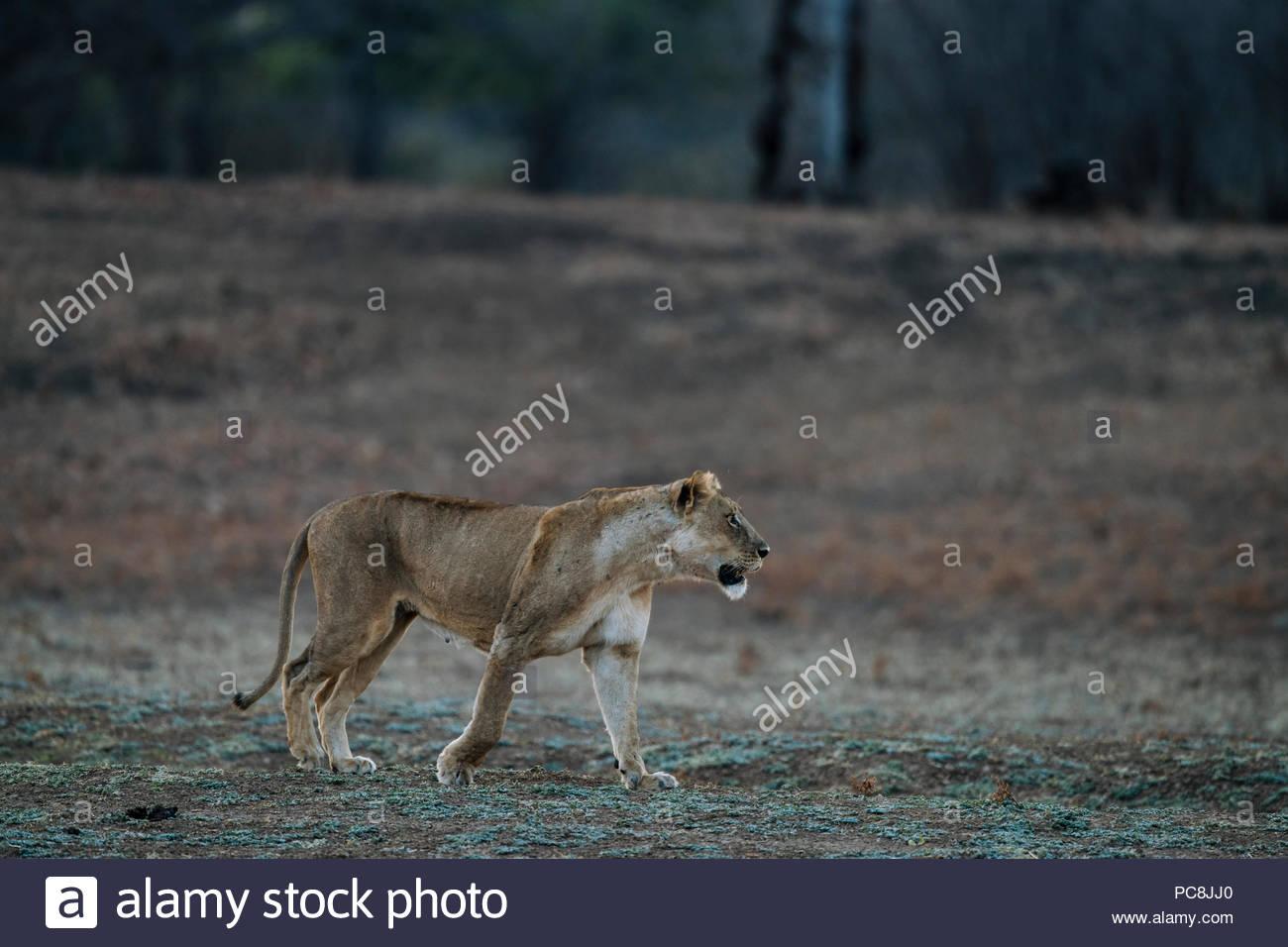 A lioness, Panthera leo, walking at sunset. - Stock Image