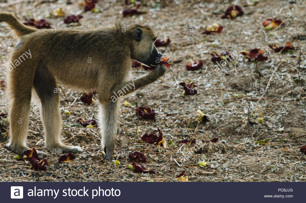 Yellow baboon, Papio cynocephalus, foraging for grass seed-heads. - Stock Image