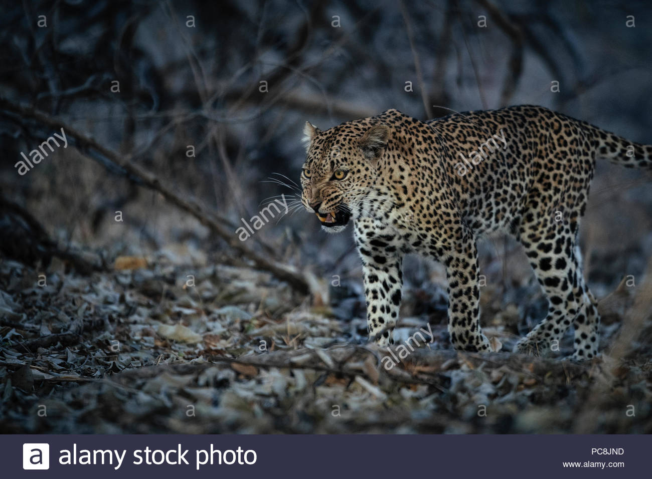 A female African leopard, Panthera pardus pardus, growling at dusk. - Stock Image