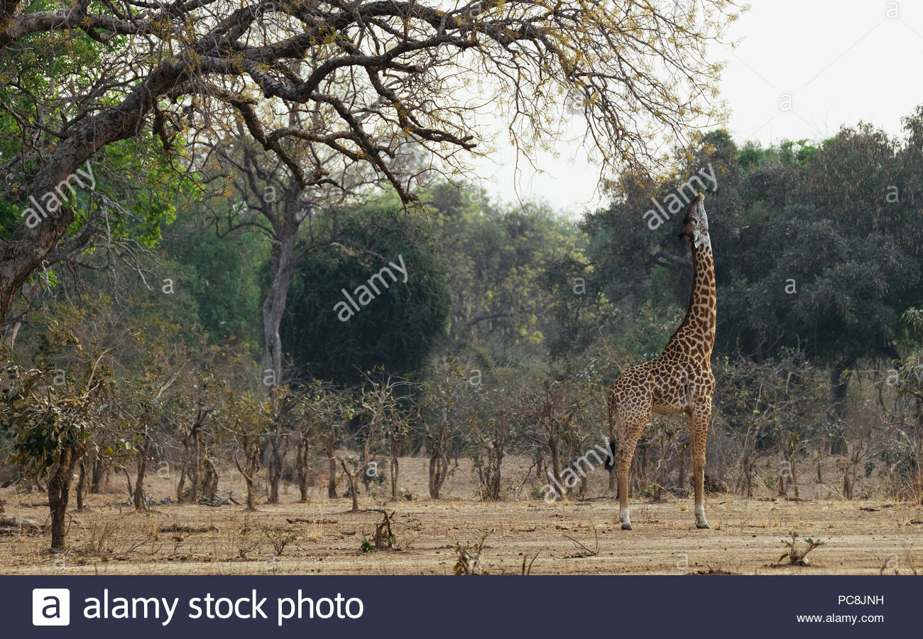 Thornicrofts Giraffes, giraffa camelopardalis thornicrofti, feeding on branch. - Stock Image