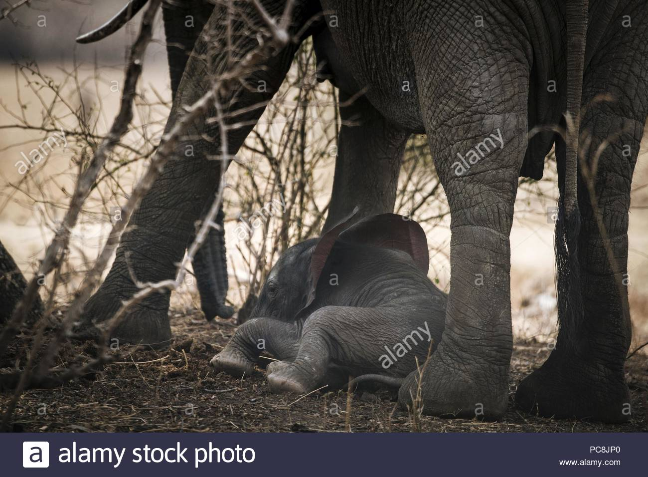 An African elephant calf nursing from its mother, Loxodonta africana. - Stock Image