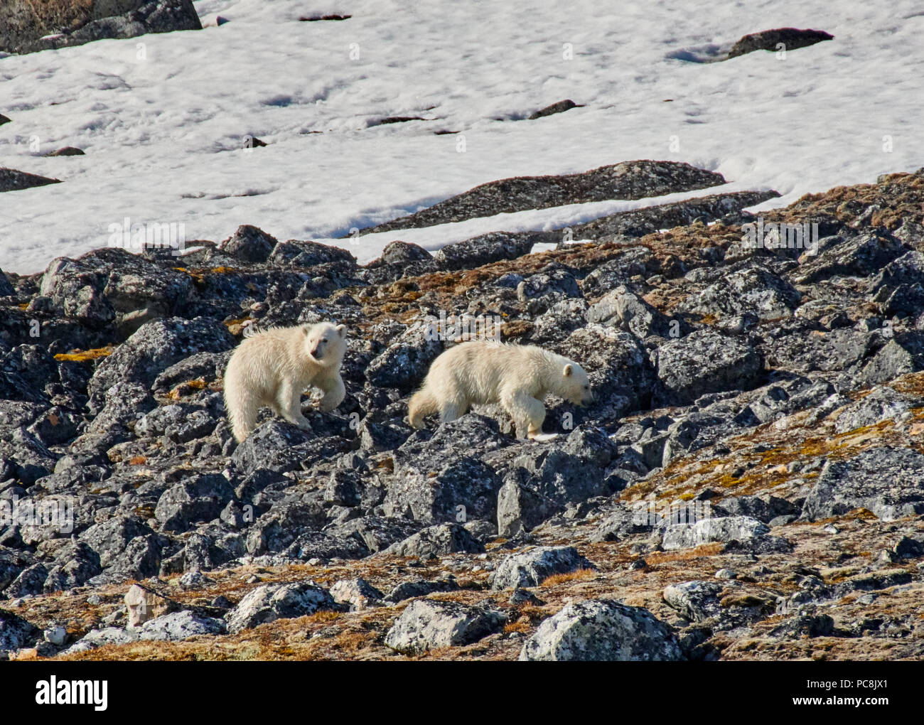 two polar bear cubs (Ursus maritimus) steeping on stones, Svalbard or Spitsbergen, Europe - Stock Image