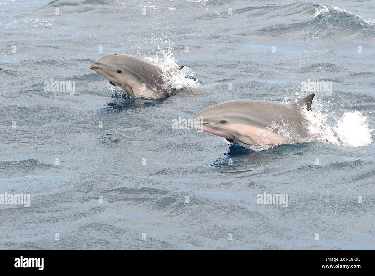 Portrait of two Fraser dolphins jumping out of the water - Stock Image