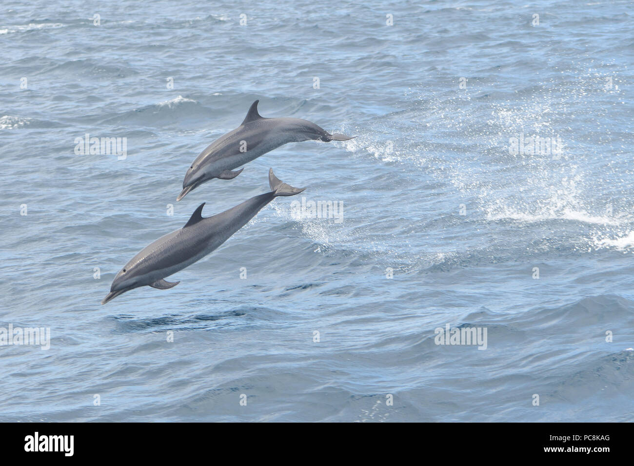 Close up of two dolphins jumping out of the water - Stock Image