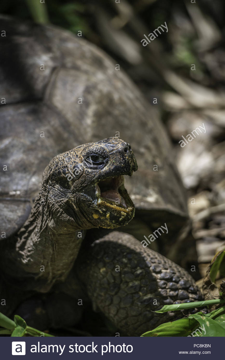 Mrs. Turpen, a Galapagos tortoise that was marooned on the island over half a century ago. - Stock Image