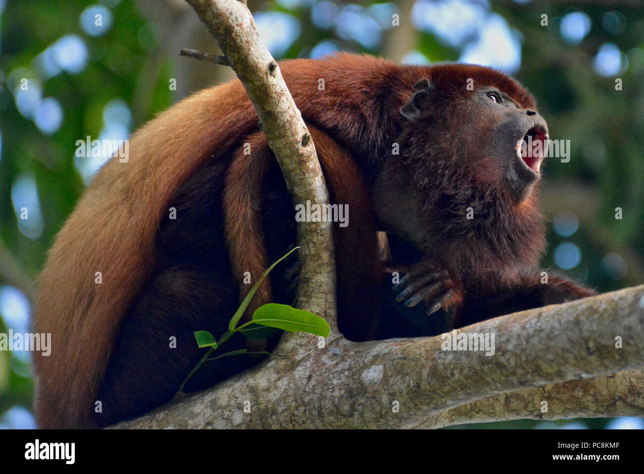 A Red Howler Monkey, Alouatta seniculus, howls on a branch. - Stock Image