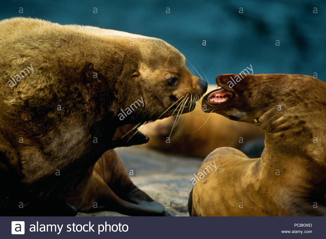 Two Steller sea lions yell as a precursor to mating. - Stock Image