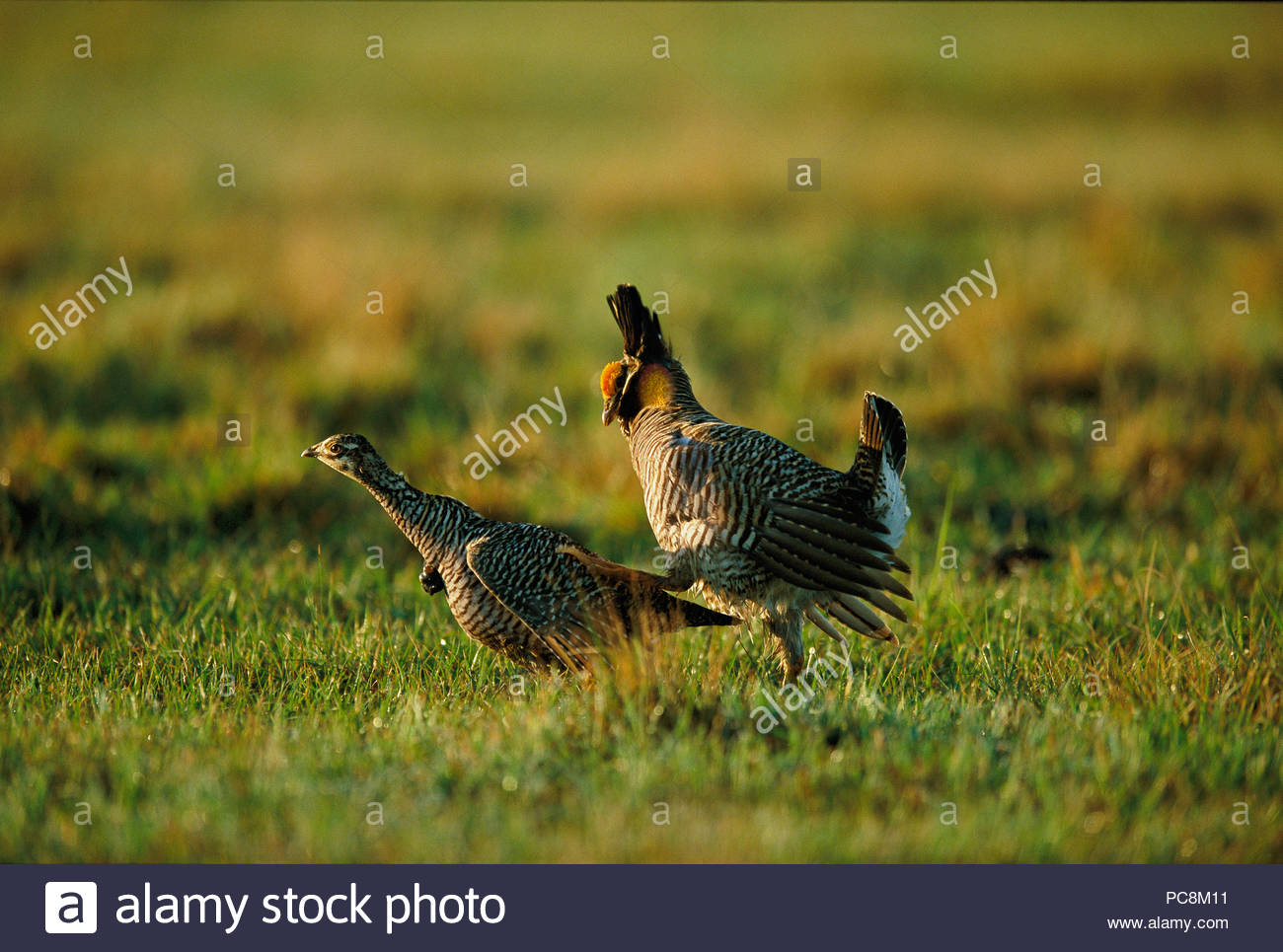 A male Attwater prairie-chicken chases a female for mating Stock